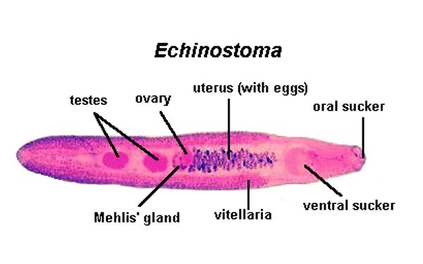 Echinostoma ilocanum