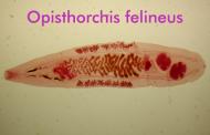 Opisthorchis felineus