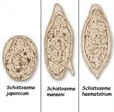 perbedaan telur schistosoma